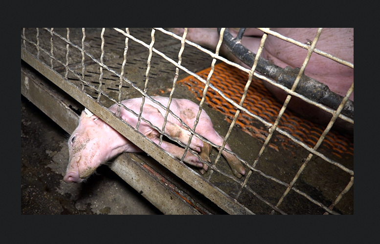 Foto: Ihttp://www.peta.de/schweinezucht-guenthersdorf#.WbtW-xdpyfY n einer Seitenwand eingeklemmtes mit dem Tod ringendes Ferkel.