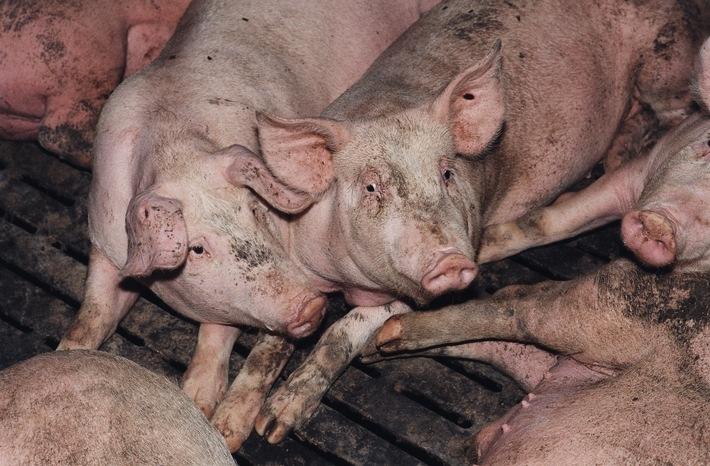 """VIER PFOTEN fordert mehr Transparenz: Verbraucher müssen im Supermarkt sehen können, wie ein Tier gehalten wurde. Hier: Schweine in deutscher Massentierhaltung / Weiterer Text über ots und www.presseportal.de/nr/17477 / Die Verwendung dieses Bildes ist für redaktionelle Zwecke honorarfrei. Veröffentlichung bitte unter Quellenangabe: """"obs/Vier Pfoten - Stiftung für Tierschutz/VIER PFOTEN, Fred Dott"""""""
