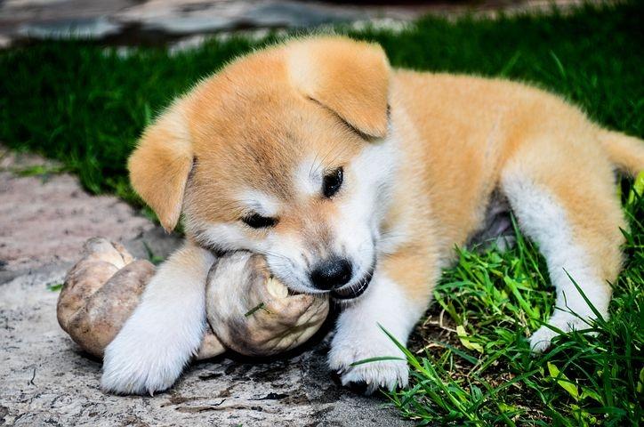 Hund Akita Inu