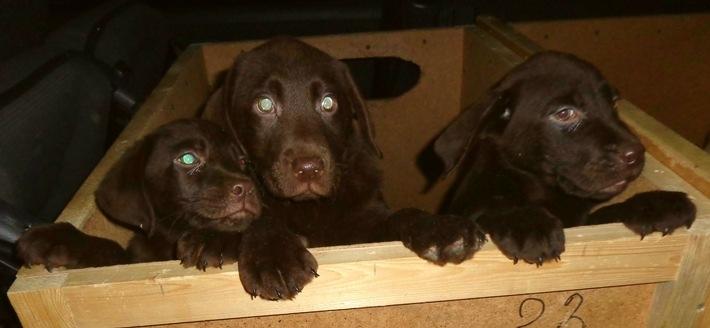 Labradore sichergestellt