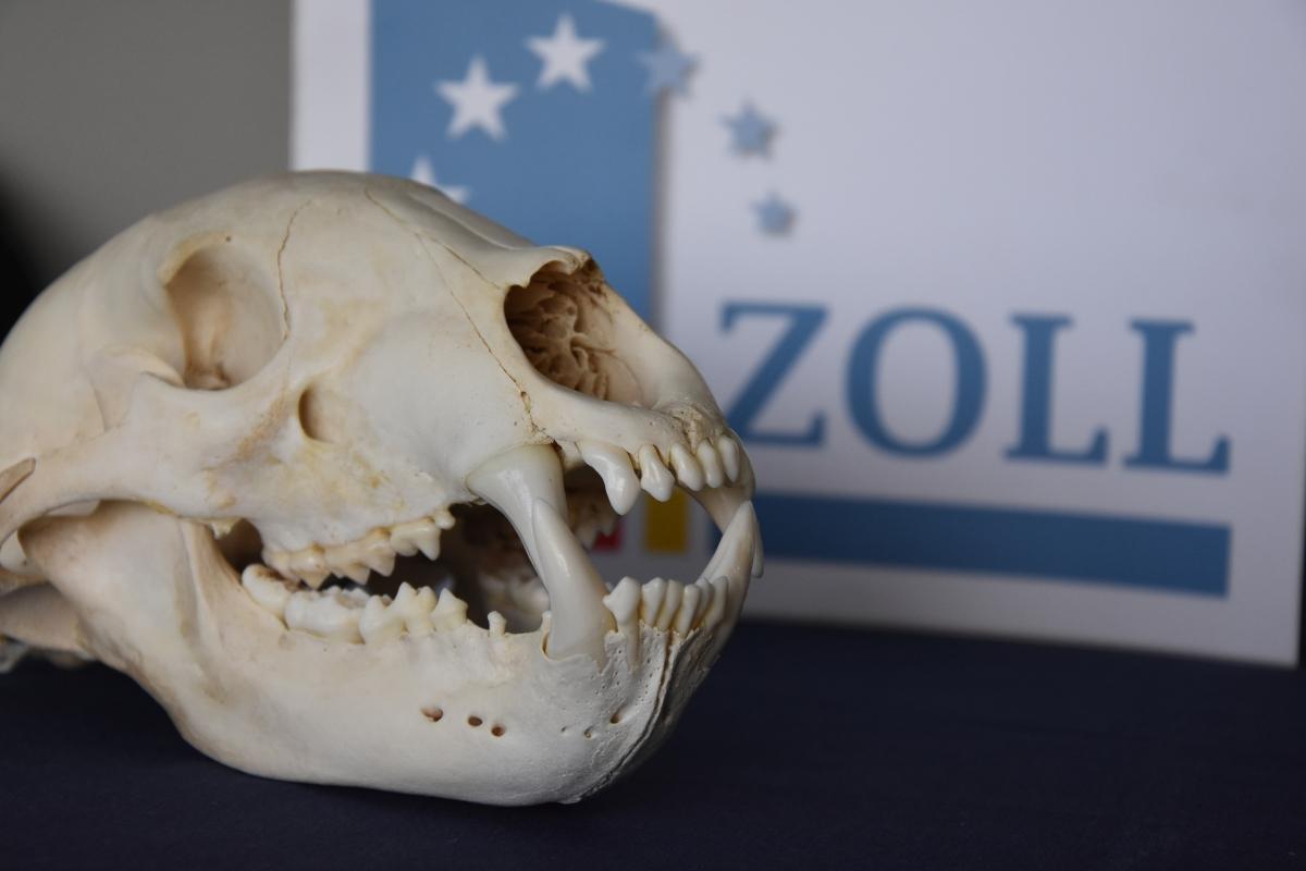 Artengeschützter Bärenschädel; Foto: Zoll