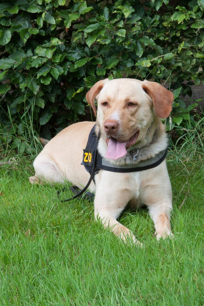 Willy, passiv anzeigender Rauschgiftspürhund (Labrador-Mix, 5 Jahre) Foto: Zoll