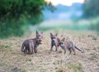 """Quelle: """"Bild: Timo Litters, Wildtierschutz Deutschland"""""""